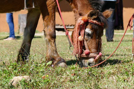 bending down: brown horse bending down and eating grass Stock Photo