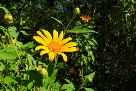 tree marigold: Tree marigold, Mexican tournesol, Mexican sunflower, Japanese sunflower, Nitobe chrysanthemum