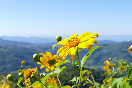 Tree marigold, Mexican tournesol, Mexican sunflower, Japanese sunflower on the hill Stock Photo