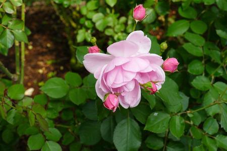 rosas rosadas: floraci�n rosa rosa (Milrose) en el jard�n