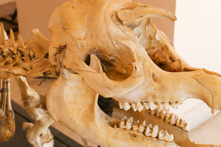 calaveras: skull bone skeleton of tapir animal showing for veterinarian education
