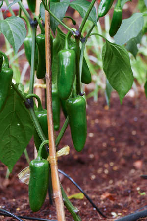 jalapeno: jalapeno growing in agricultural organic farm