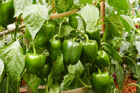 organic farm: bell sweet pepper growing in the agricultural organic farm