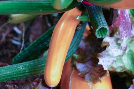courgette: yellow zucchini courgette growing in agricultural farm Stock Photo