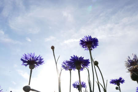 bachelors: purple Cornflower or Bachelors Button meadow with blue sky background Stock Photo