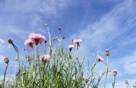 bachelors: pink Cornflower or Bachelors Button meadow with blue sky background