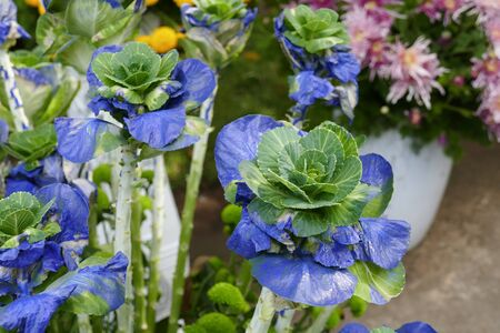flowering kale: bouquet of cabbage dyed with blue color for decoration Stock Photo