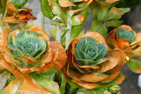 flowering kale: bouquet of cabbage dyed with orange color for decoration