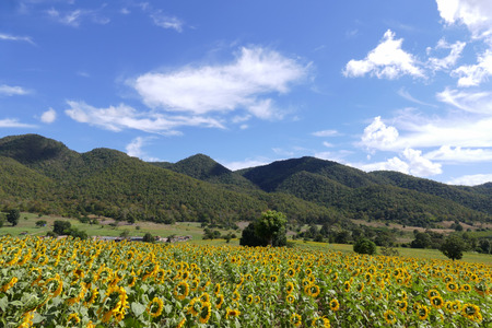 flower tree: view of sunflower field on the mountain in Thailand