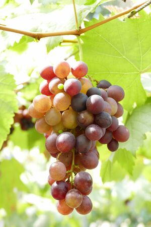 uvas: cultivation of red grape fruit in vineyard