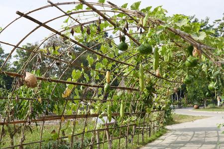 luffa: luffa gourd calabash growing on arch pergola
