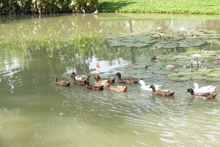 swimming bird: flock of duck swimming in the pond
