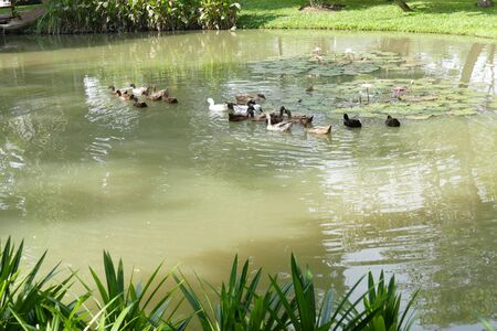 an feather: flock of duck swimming in the pond