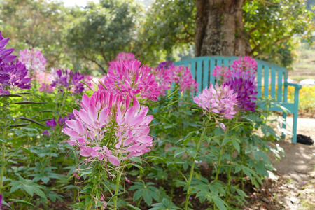 green flower: blooming pink and purple spider flower at the flowerbed in the garden Stock Photo
