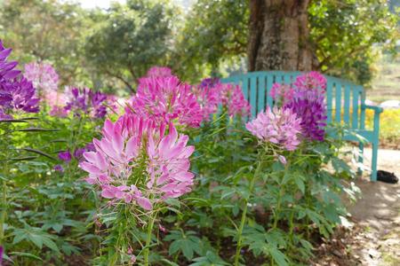 flor morada: floraci�n de color rosa y flor de ara�a de color morado en el macizo de flores en el jard�n Foto de archivo