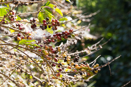 coffee berry: crop of coffee berry fruit in agriculture farm