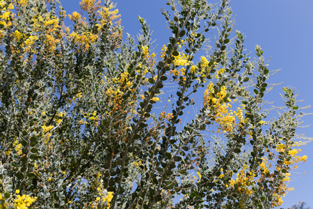 blossoming yellow flower tree: blooming yellow flower of pearl acacia tree
