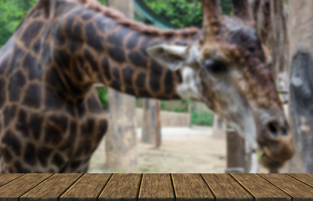somali giraffe: a giraffe bend down for vegetable feeding (blur background with wood table top for display or montage your product)
