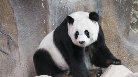 panda beer dier zitten, kijken en te ontspannen
