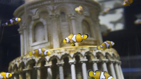 pez payaso: nataci�n pez payaso en el acuario tanque de agua