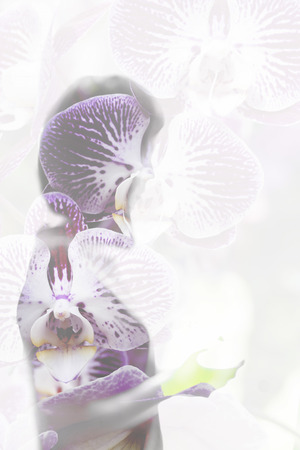 woman shadow: blooming purple phalaenopsis orchid flower with woman shadow - double exposure Stock Photo