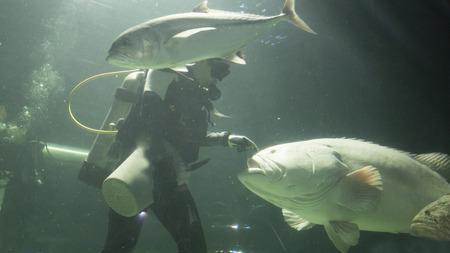fish tank: scuba diver feed fish in water tank aquarium