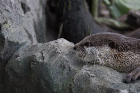 small clawed: small clawed otter resting on rock