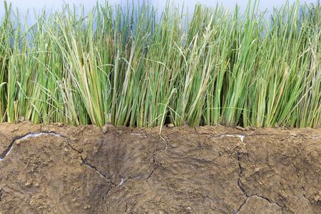 soil erosion: vetivar grass for preventing soil erosion from heavy rain fall