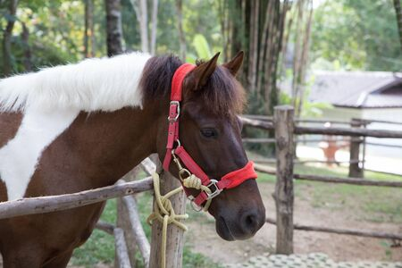 asian brown horse in stall in ranch farm