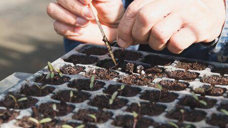 and plot: green leaf plant seedling in the vegetable plot in garden