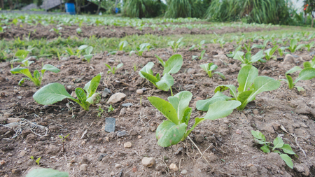 and plot: green leaf lettuce in the vegetable plot in farm