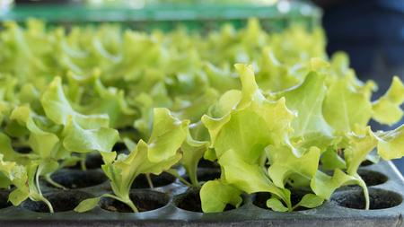 and plot: seedling of green leaf lettuce in the vegetable plot in garden
