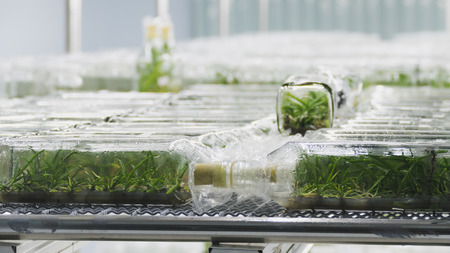 plant tissue culture growing in a bottle on shelf in laboratory - botanic nursery Stock Photo