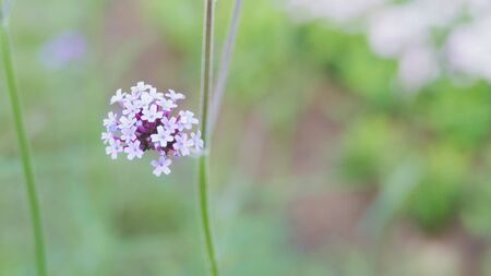 blooming purple: Verbena bonariensis, blooming purple flowers field