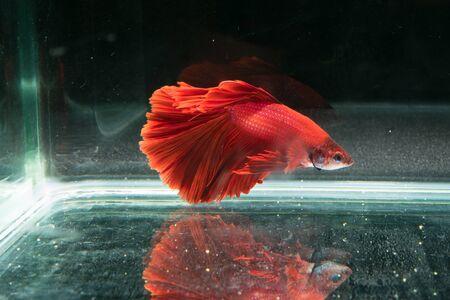 red siamese fighting fish. beautiful tail of betta splendens half moon fish on black background Stock Photo