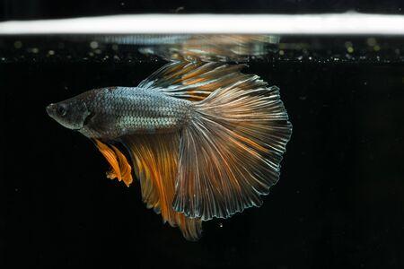 red blue siamese fighting fish. beautiful tail of betta splendens half moon fish on black background Stock Photo