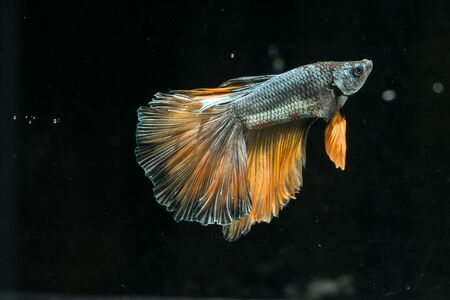 freshwater aquarium fish: red blue siamese fighting fish. beautiful tail of betta splendens half moon fish on black background Stock Photo