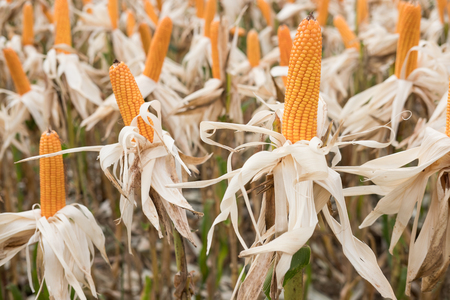 sweet yellow corn in farm. maize cob. crop in agriculture industry. harvest season in farmland