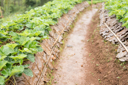 strawberrry plantation on mountain in rainy day. strawberries farm. food & agriculture concept. Stock Photo
