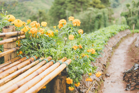bamboo bench in strawberries farm. strawberrry plantation on mountain. food & agriculture concept.
