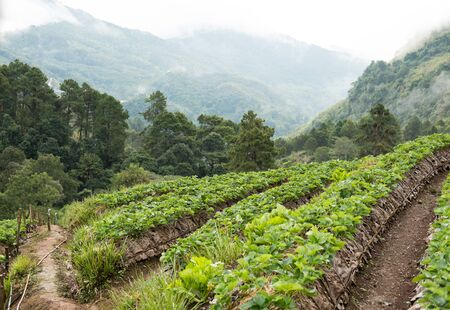 strawberrry plantation on mountain in rainy day. strawberries farm. food & agriculture concept. Standard-Bild