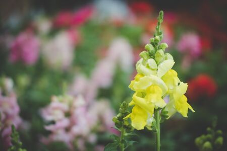 snapdragon flower in garden. blooming flora in park. yellow & pink blossom Stock Photo