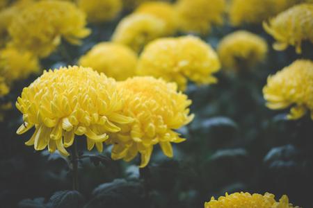 yellow chrysanthemum. blooming aster flower in garden. flora field. nature background