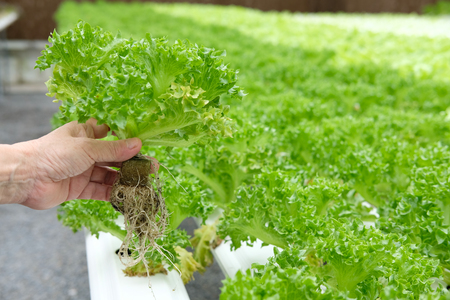 farmer holding lettuce vegetable growing in greenhouse of hydroponic farm