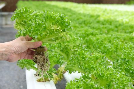 farmer holding lettuce vegetable growing in greenhouse of hydroponic farm Foto de archivo - 107941703