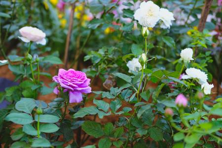 pink rose flower in garden. blooming flora in park Stock Photo