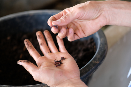 farmer hand holding earthworm. composting worm for producting compost manure fertilizer Banque d'images - 119819789