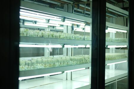 tissue culture technique for growing plant in glass bottle in temperature control system with artificial light 写真素材