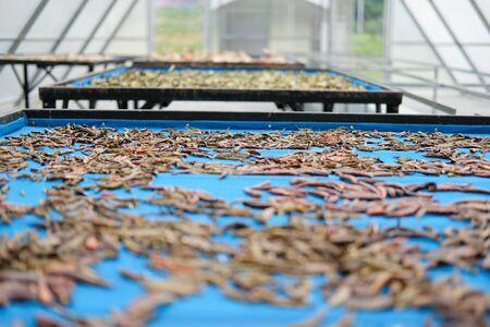 herb spice drying in sun solar dryer green house by sunlight. Reklamní fotografie