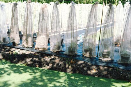 melon plant covering with net growing in green house in organic farm